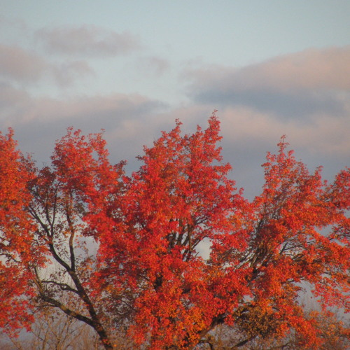 Red Oak Leaves Soundscape