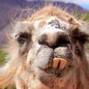 Lucky (Spanglish - LLAMA Version) VERY FUNNY by Llamas