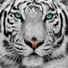 Eye of the tiger - Survivor