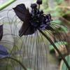 فُرات قدّوري: الأوركيدة السوداء. |||||  Furat Qadduori: The Black Orchid.