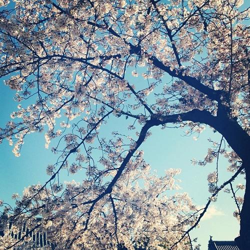 Cherry Blossom Melt