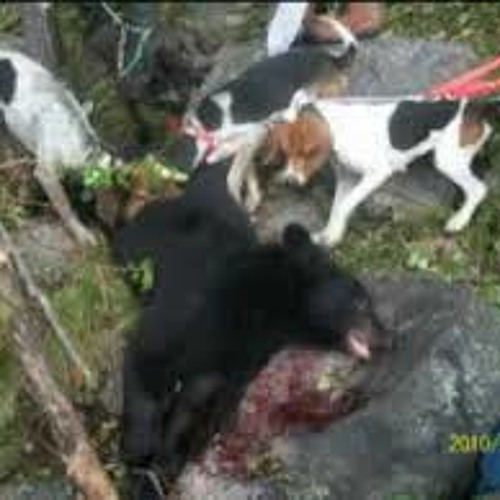 Humboldt Supervisors Support Hound Hunting of Bear & Bobcat