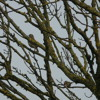 Duelling Song Thrushes