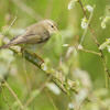140421 0327 Willow Warbler Song Ribchester Mike Watson