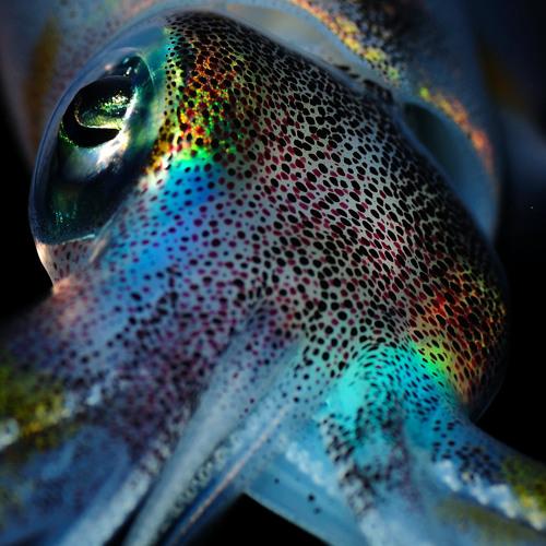 Penetrating Squid