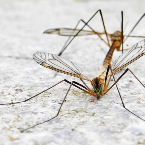Im Mückenschwarm sticht ein Stachtel hervor