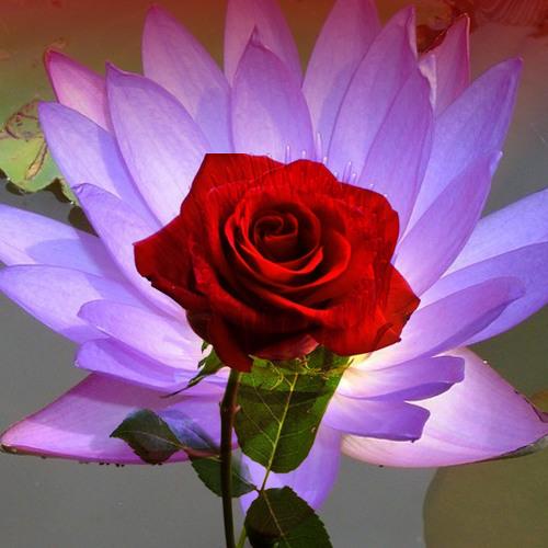 Dogan Erdal Bouquet 2 . A Rose for Mother ( David Hollandsworth ) & Lotus ( Theodore Howe )
