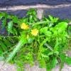 Rascally Weeds