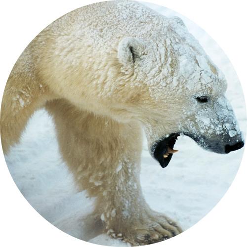 Polar Bear (So Far)  Preview DANDÈS