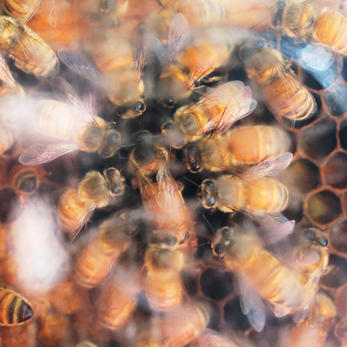 Feeling the Sting: Toxic Pesticide Threatens Honeybees