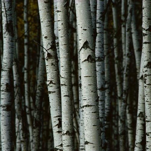 Birch Tree Project - Kimberly