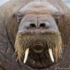 Yo soy la morsa (I am the Walrus) Bertoldi - Sorin