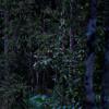 Dusk Cicadas - Taman Negara, Malaysia