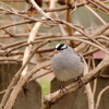 White - Crowned Sparrow and backyard noise