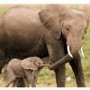 Mama & Baby Elephant Walk