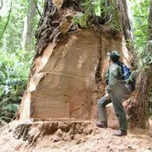 Burl theft of old growth redwoods is on the rise
