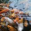 Suara ikan