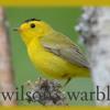 20140525T14 Wilson's warbler mp3