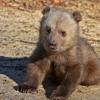 Baby Bear - cute little theme - [by tibo]