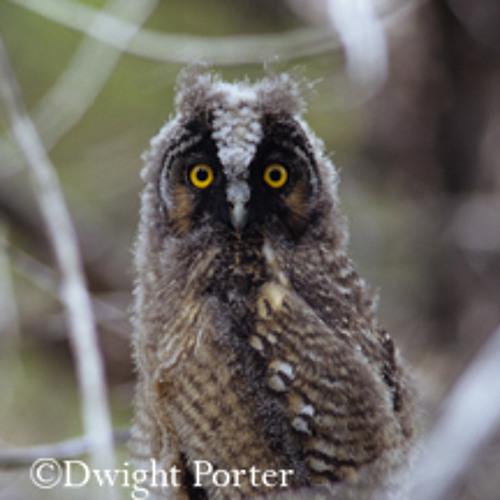 Long-eared Owl and Desert Wind