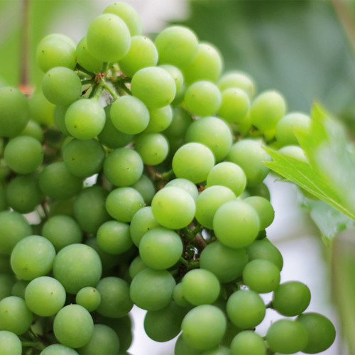 Proper pruning, plucking and picking produces the best grapes