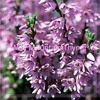 Wild Mountain Thyme - Traditional - Cover