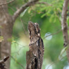 Nancy Rumbel and the Common Potoo