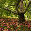 The Proverbial Apple