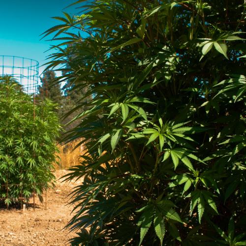 Humboldt Cannabis PAC hires Community Organizer