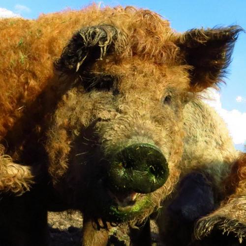 Sparkling Pigs -- Soulpiet