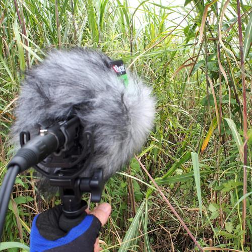 Wind and Birds in Lower Yasugawa Reeds