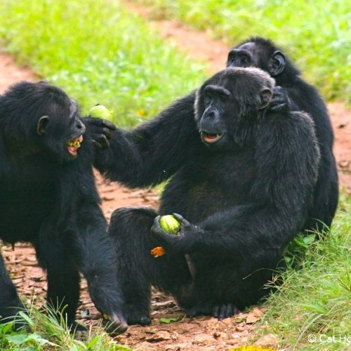 A lexicon of chimp gestures may tell us something about our own language