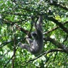 Javan gibbon call, adult female