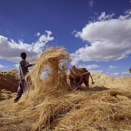 In Ethiopia, fearing famine and farming teff