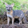 Download Grey Fox On The Loose Mp3