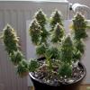 Smoke good marijuana - Sizzla