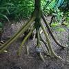 Walki'n Tree