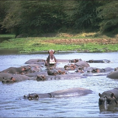 Deceased drug lord's pet hippos run wild in Colombia