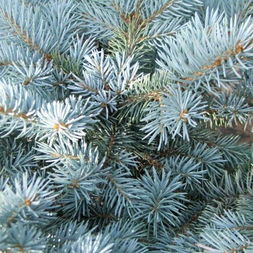 Gwerkova - 6EAR - 04 Picea pungens Glauca Globosa
