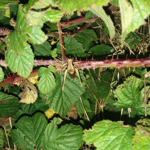 Perspective Recording: Dark Bush Cricket Stridulating