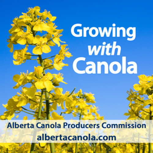 Combining canola in warm weather