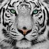 White Tiger (Hippie Sabotage x Tove Lo x Proper)