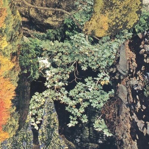 Polypus Acephalous - Gnat (fon30)