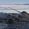 What the narwhal's tusk is really for