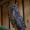 Great Horned Owl duet