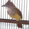 Nada Sms Suara Burung Cucak Jenggot (www.terhits.com)