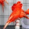 Nada Sms Suara Burung Kenari (www.terhits.com)