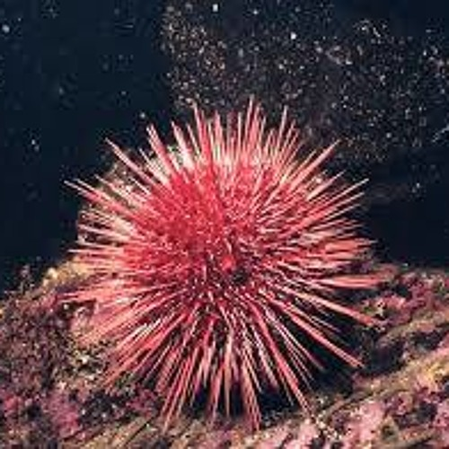 THE LEGEND OF A SEA URCHIN, Spoken Word (narrated by Jen Waters)