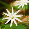 Chickweed: Wicked or wonderful?