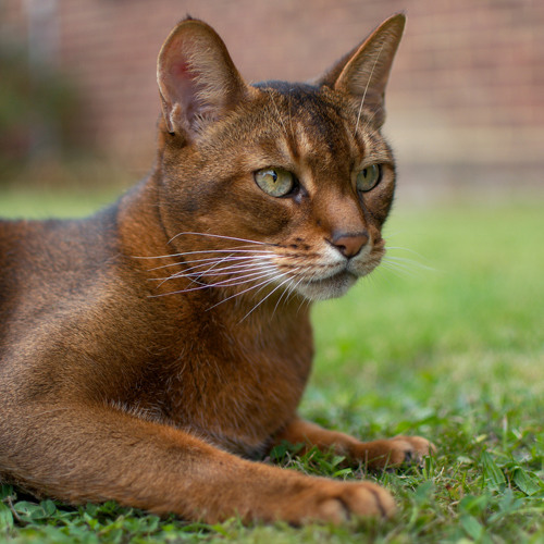 Here Kitty, Kitty: The Genetics of Tame Animals